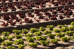 Bunte Felder des Kopfsalates Stockbild
