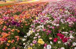 Bunte Felder von Blumen Stockfotografie