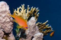 Bunte Fische über Koralle Stockbilder