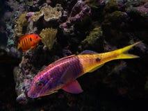 Bunte Fische Stockfotografie