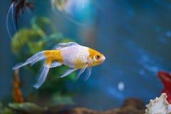 Bunte Fische auf Aquariumwasser Lizenzfreie Stockfotografie