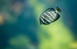 Bunte Fische in der Aquariumschwimmen Lizenzfreie Stockbilder