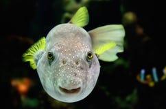 Bunte Fische, die Kamera betrachten. Lizenzfreie Stockbilder