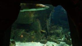 Bunte Fische im Aquarium stock footage