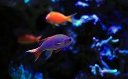 Bunte Fische im Riffaquariumbehälter Stockfotografie