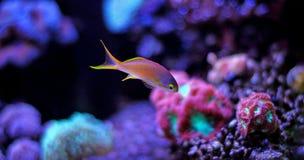 Bunte Fische im Riffaquariumbehälter Stockfotos