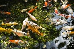 Bunte Fische oder Karpfen oder Fantasiekarpfen, alias schwarzer Karpfen Ein Frischwasserfisch Stockbilder