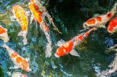 Bunte Fischschwimmen im Teich Lizenzfreies Stockfoto