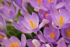 Bunte Frühlingsblumen Stockfotos