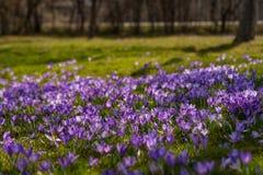 Bunte Frühlingslandschaft im Karpatendorf mit Feldern von blühenden Krokussen stockfotos