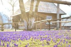 Bunte Frühlingslandschaft im ukrainischen Dorf mit Feldern von blühenden Krokussen lizenzfreie stockbilder