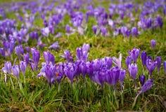 Bunte Frühlingslichtung im Karpatendorf mit Feldern von blühenden Krokussen lizenzfreies stockfoto