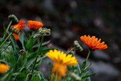Bunte Gänseblümchenblumen im Garten lizenzfreie stockbilder