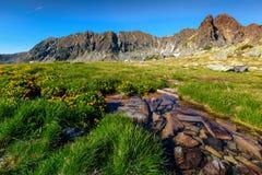 Bunte gelbe Blumen und alpiner Gebirgsbach, Retezat-Berge, Rumänien Lizenzfreies Stockfoto