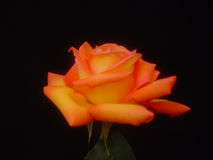 Bunte gelbe Rose Lizenzfreies Stockfoto