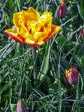 Bunte gelbe und rote doppelte Tulpenblume stockbilder