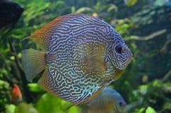 Bunte gestreifte Fische Stockbild