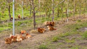 Bunte Hühner auf dem Gebiet Stockfotos