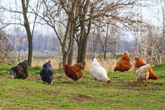 Bunte Hühner auf natürlicher Zufuhr stockfotos