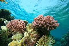 Bunte harte Korallen Lizenzfreie Stockfotos