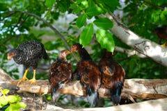 Bunte Hennen des jungen Freilands, die auf einem Baumast sitzen stockfoto