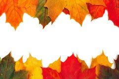 Bunte Herbst-Ahornblätter Stockfoto