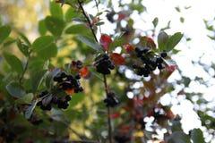 Bunte Herbst-Blätter Birken mit orange Blättern nave jahreszeiten Stockbilder