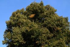 Bunte Herbst-Blätter Birken mit orange Blättern nave jahreszeiten Lizenzfreie Stockfotos
