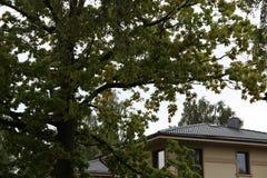 Bunte Herbst-Blätter Birken mit orange Blättern nave jahreszeiten Lizenzfreies Stockfoto