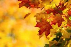 Bunte Herbstahornblätter auf einem Baumast Gelber Herbstlaubhintergrund mit Kopienraum Lizenzfreie Stockfotografie