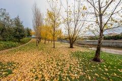 Bunte Herbstbäume mit gelben Blättern im Madrid Río, der Park des Manzanares-Flusses in Madrid, Spanien lizenzfreie stockfotos