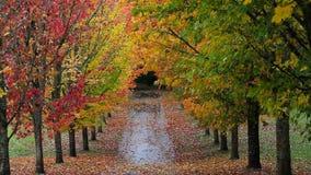 Bunte Herbstfallblätter von den hohen Ahornbäumen, die entlang Straße im Park gezeichnet werden, summen heraus 1080p laut stock footage