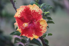 Bunte Hibiscusblume im Park Lizenzfreie Stockfotos