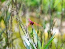 Bunte Holding der Libelle auf Blume Lizenzfreies Stockbild