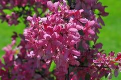 Bunte Holzapfel-Blüten Stockbild