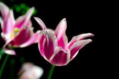 Bunte hybride Tulpen auf dunklem Hintergrund lizenzfreie stockfotografie