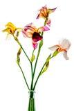 Bunte Iris auf einem weißen Hintergrund Stockfotos