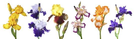 Bunte Iris auf einem weißen Hintergrund Lizenzfreie Stockfotos