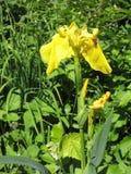Bunte Iris im Garten, beständiger Garten gardening Schwertlilie Gruppe gelbe Iris im ukrainischen Garten Lizenzfreie Stockbilder