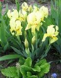 Bunte Iris im Garten, beständiger Garten gardening Schwertlilie Gruppe gelbe Iris im ukrainischen Garten Stockfoto