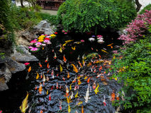 Bunte Japaner Koi-Fische in einem Teich - Shanghai, China Stockbilder