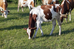 Bunte Kühe lassen in der Weide weiden Stockbilder