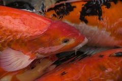 Bunte Karpfenfisch- oder koi Fischschwimmen im Teich Lizenzfreie Stockfotos