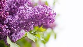 Bunte Kartenschablone der Frühlingszeit mit lila Blumen auf weißem Hintergrund, Kopienraum Makroansicht, flache Tiefe von Stockfotografie