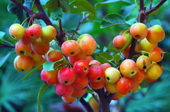 Bunte kleine Beeren stockfotografie
