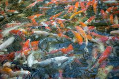 Bunte koi Fische in einem Teich Lizenzfreies Stockfoto