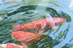 Bunte Koi-Fischschwimmen am Teichwasser Lizenzfreie Stockbilder