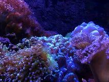 Bunte Koralle im Wasserbehälter stockfotos