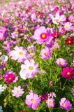 Bunte Kosmos-Blumen Stockfotos