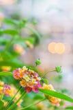Bunte Lantanablumen mit Lichtern stockfoto